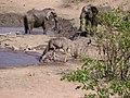African Elephant (Loxodonta africana) (8604283630).jpg