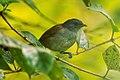 African Hill Babbler - Kenya S4E9067 (19493757201).jpg