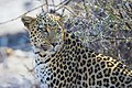African Leopard Back 2019-07-28.jpg
