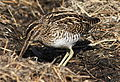 African Snipe, Gallinago nigripennis at Marievale Nature Reserve, Gauteng,South Africa (21332458289).jpg