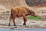African buffalo (Syncerus caffer) calf 2 weeks.jpg