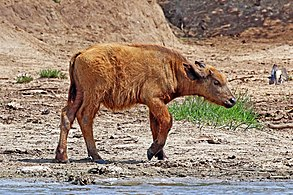 Image result for congenital defect of buffalo