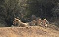 African lion, Panthera leo, a pride at Pilanesberg National Park, South Africa (29612245562).jpg