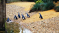African penguins (01).jpg