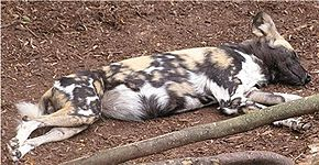 Description de l'image African wild dog.jpg.