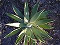 Agave species (5747085353).jpg