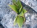Agave species (5757395991).jpg