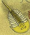 Aglaspis spinifer.jpg