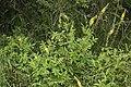 Agrimonia eupatoria bray-sur-somme 80 25062007 1.jpg