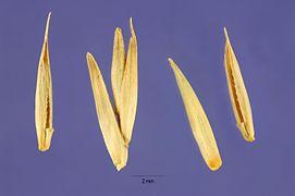 Agropyron cristatum seeds.jpg