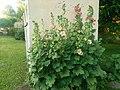 Alcea rosea-вртни сљез.jpg