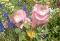 Alcea rosea rosa.PNG