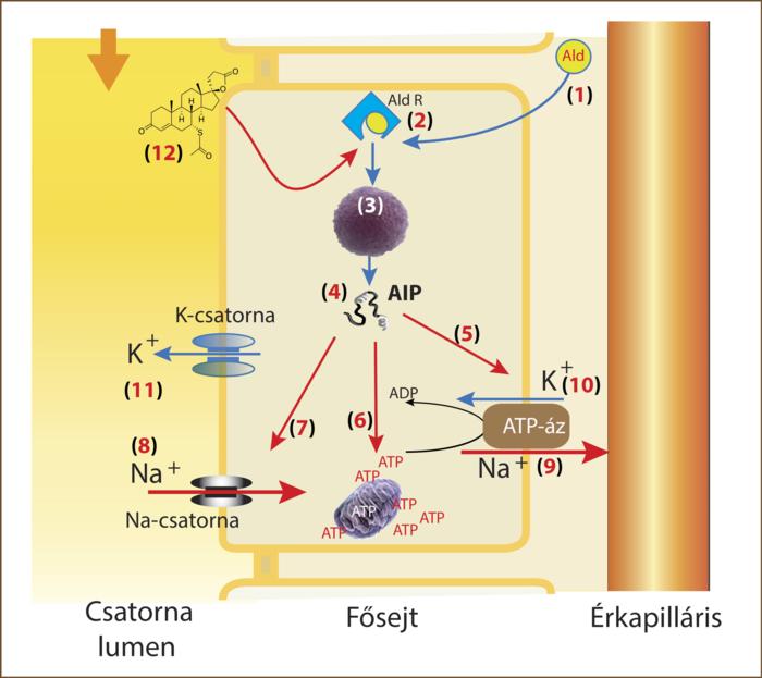 a radiola rosea tinktúrája magas vérnyomás esetén
