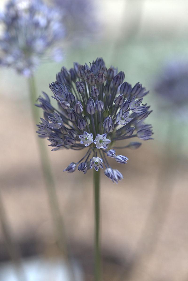 Allium caesium GotBot 2015 001.jpg