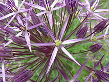 Allium christophii 'Star of Persia' (Alliaceae) flower.JPG