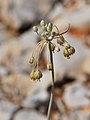 Allium hermoneum 1.jpg