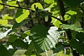 Alnus-maximoviczii-foliage.JPG