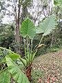 Alocasia sp. (41139064171).jpg