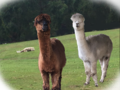 Alpaca vs Grass Mud Horse (I'm a Romance Scam IT Detective).png