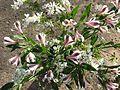 Alstroemeria mystery maroon and white var - Flickr - peganum.jpg