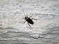 Altar Cave - American cockroach on wall (San Salvador Island, Bahamas) 1 (16391144462).jpg