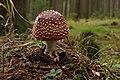 Amanita muscaria (30092627781).jpg