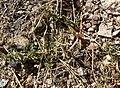 Amaranthus albus 1.jpg