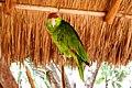 Amazona finschi -Mexico-1.jpg