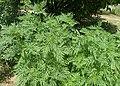 Ambrosia artemisiifolia kz02.jpg