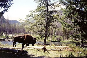 American Bison, Madison River Area, Yellowstone National Park (2484648796).jpg