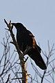 American Crow (Corvus brachyrhynchos) - Killarney, Ontario.jpg