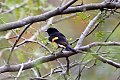 American Redstart (Setophaga ruticilla) (8082129132).jpg