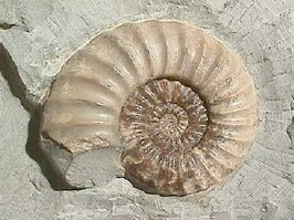 Ammonite Asteroceras.jpg
