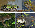 Amphibians Bitten By Mosquitoes Or Biting Midges.jpg