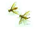 Anastrepha grandis .png