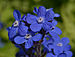 Anchusa azurea Closeup.JPG