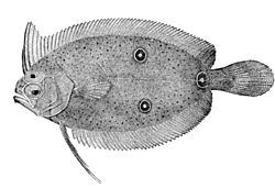 meaning of halibut