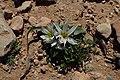 Androcymbium gramineum kz03.jpg