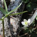 Anemone flaccida and Fritillaria japonica.jpg