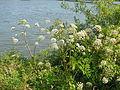 Angelica heterocarpa 8.jpg