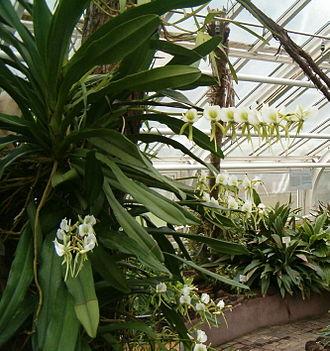 Angraecum eburneum - Image: Angraecum eburneum Bot Gard Bln 271207A
