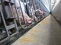 Animal Cruelty Iowa Select Farms IS 2011-05-16 12 (5841318084).jpg