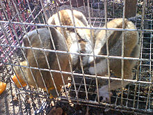 Three slow lorises with dark stripes running down their backs sit curled up in a wire cage on a street