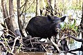 Animals of the Swamp Feral Hog.jpg