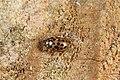 Anisosticta novemdecimpunctata (28649705584).jpg