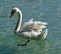 Annecy - swan.jpg