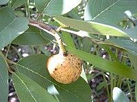 Annona senegalensis Bild0878