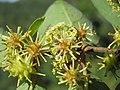 Anogeissus latifolia at Masinagudi (4).jpg