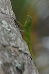 Anolis distichus in Dominican Republic.jpg