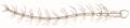 Anopheles claviger antenna-female John Curtis British Entomology 210.png